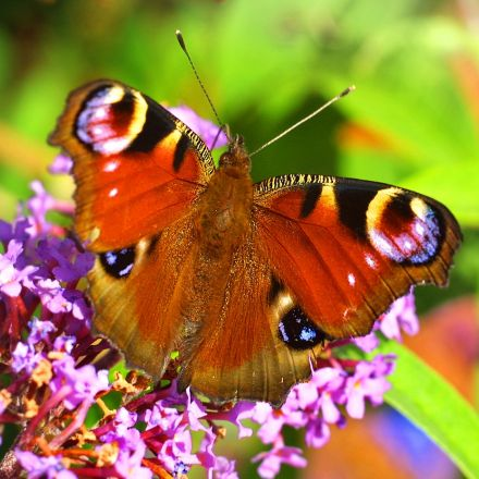 Attracting Butterflies to your garden - 7th April 2020