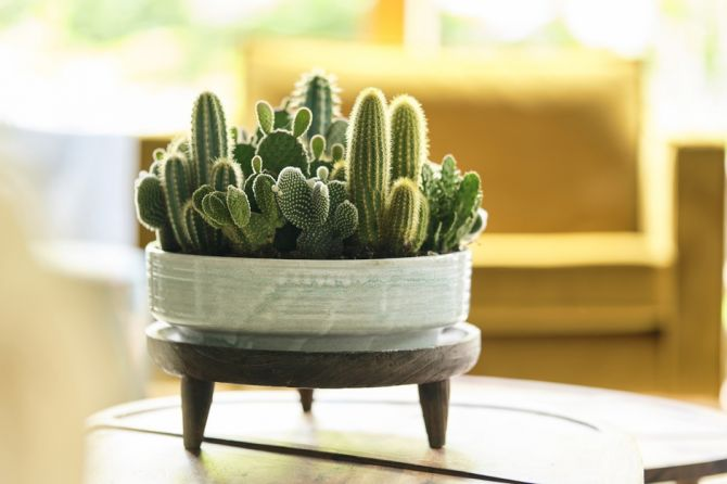 Houseplant of the month: Cacti