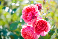 Keep your roses blooming at their peak into autumn