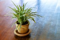 Plant of the Week: Dracaena