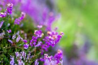 Plant of the Week: Erica (heather)