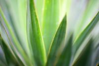 Plant of the Week: Yucca