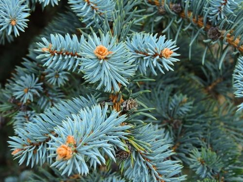 Plants of the moment: Festive conifers