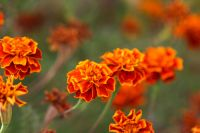Year of the Marigold